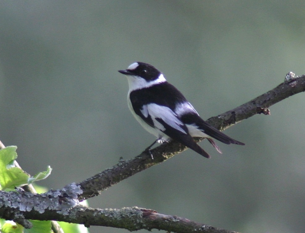 096448159b0b1 Die meisten haben ihn gar noch nie gesehen. Er gehört zu den echten  Raritäten in der Vogelwelt  der Halsbandschnäpper. Dieser etwa meisengroße Vogel  kann ...